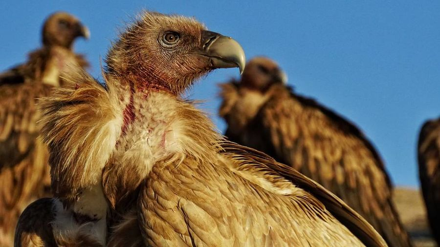 Eagle Sky Berial Bird Agriculture Animal No People Livestock Animal Wildlife Close-up
