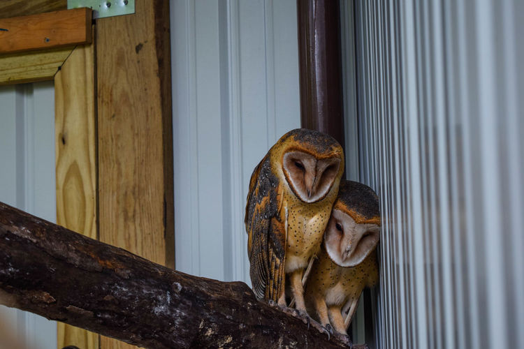 Barn owls perching on wooden railing against wall at zoo