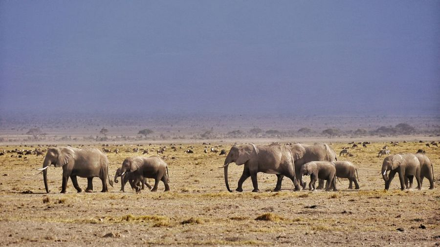 Elephants walking on field against clear sky