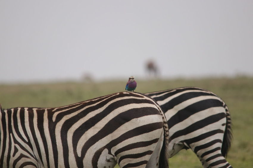 Bird on Zebra Animal Markings Animal Themes Animal Wildlife Animals In The Wild Beauty In Nature Clear Sky Close-up Day Focus On Foreground Grass Mammal Nature No People Outdoors Safari Animals Sky Striped Togetherness Zebra