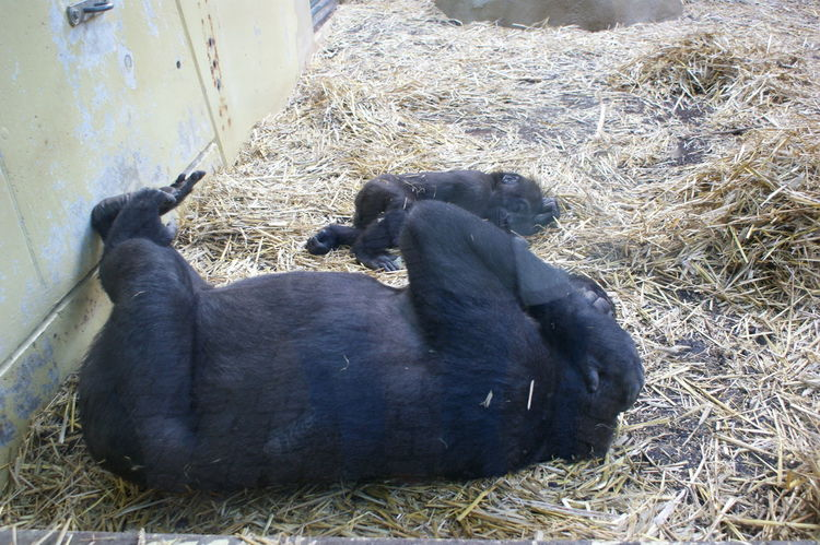 Animal Themes Gorilla Gorilla Mother & Child Gorillas Mammal Mother And Child One Animal Relaxation Relaxing Wildlife Zoology