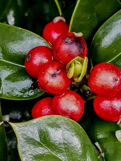 Fruits Redfruit SignsOfSpring Plentiful Forthebirds Naturephotography Humblebeauty Tree Water Fruit Red Leaf Agriculture Healthy Lifestyle Close-up Green Color Food And Drink