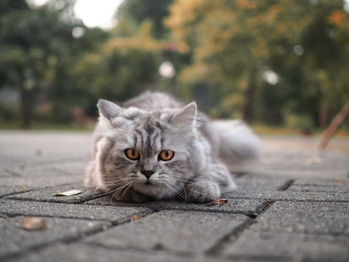 Portrait of cat relaxing on road