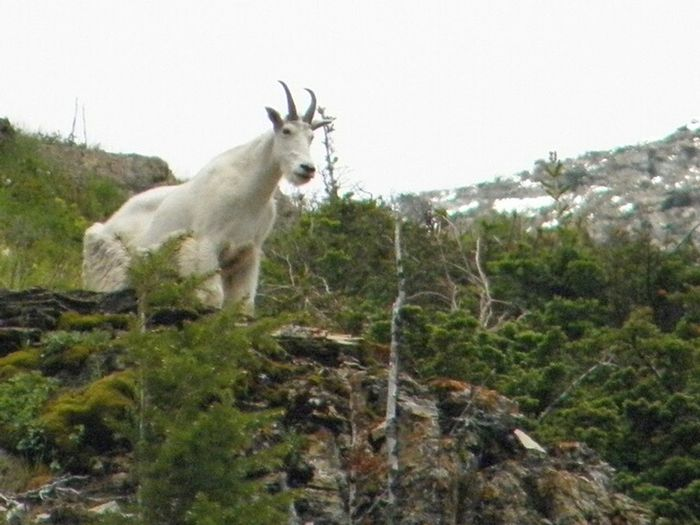 The Calmness Within Nature Is Freedom Mountain Goat Wild In The Hills Glaciernationalpark Beautiful Nature Countryside Nature Eye4photography