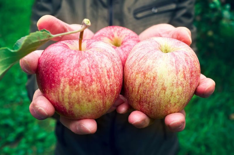 Healthy Gala Sweet Picking Juicy Fruit Juicy Senior Adult Senior Man Ripe Apple Ripe Havesting Fruit Healthy Eating Food Freshness Food And Drink Wellbeing Hand Human Hand Holding Close-up Red Focus On Foreground Human Body Part Plant Nature Apple - Fruit Agriculture Growth