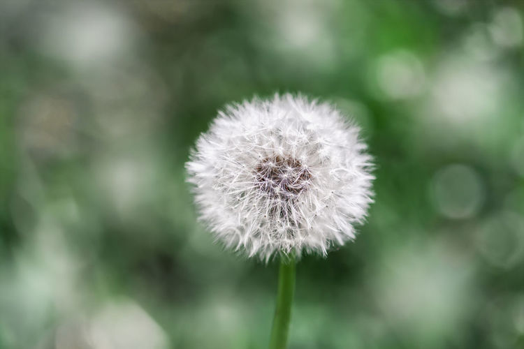 White dandelion on green background, natural background, selective focus Flower Plant Flowering Plant Freshness Vulnerability  Close-up Dandelion Growth Beauty In Nature No People Nature Softness Outdoors Flower Head Fragility Day Dandelion Seed White Color Springtime Green Fluffy