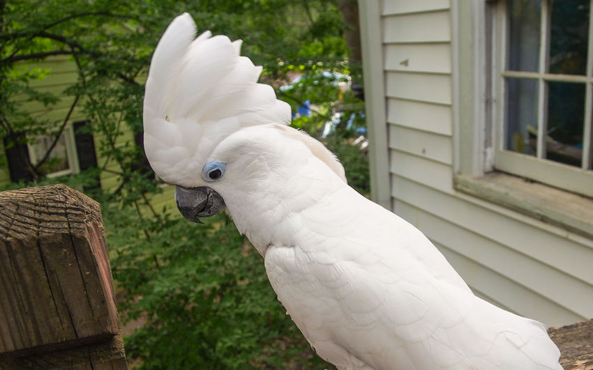 Clara the cockatoo Cockatoo Feathers Animal Themes Beak Bird Close-up Cockatoo Crest Day Domestic Animals Exotic Pets Leafy No People One Animal Outdoors Parrot Pets Portrait White Color