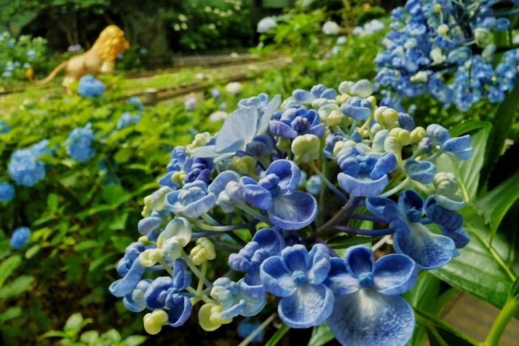 Close-up of hydrangea blooming outdoors