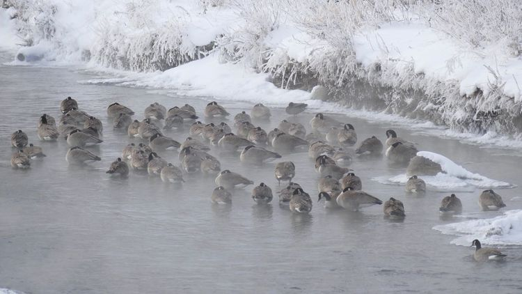 Fowl weather friends. Mist Gaggle Of Geese Gaggle Geese Anti-snow-birds Frigid Temps Frigid Canada Geese Large Group Of Animals Animals In The Wild Animal Themes Animal Wildlife Water White Color Swimming Cold Temperature Ice Winter No People Beauty In Nature