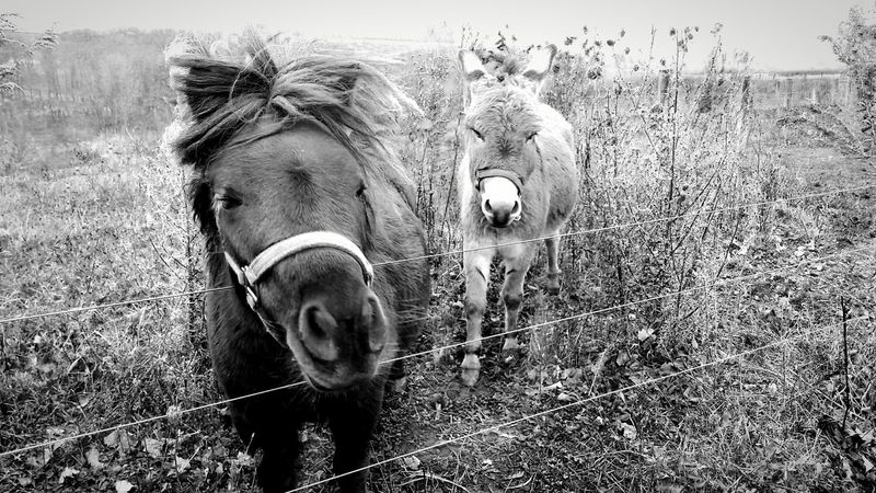 Domestic Animals Animal Themes Mammal Livestock Donkey 2 Animals Outdoors Day Bridle Nature Close-up Black And White Bnw_friday_eyeemchallenge BNW_farm_animals Equine The EyeEm Collection The Premium Collection