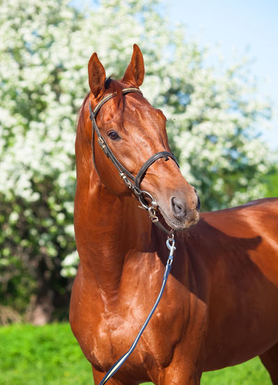 Animal Themes Blossom Bridle Chestnut Close-up Day Domestic Animals Horse Mammal Nature No People One Animal Outdoors Portrait Sky Spring Stallion