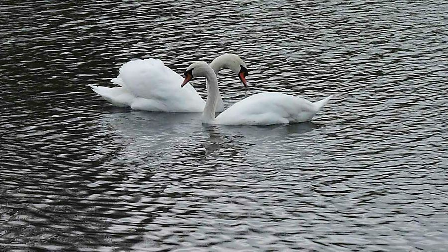 Swans On The Lake Beautiful Birds Lovers Beautiful Swans EyeEm Nature Lover Quiet Moments Love Without Boundaries My Best Photo 2015