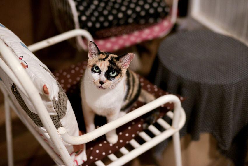 Angrycat Cat Cute Pets