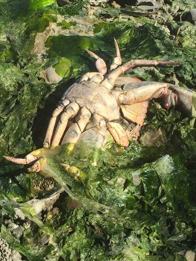 Wildlife Close-up Green Color Nature Zoology Crab Dungeness Crab Dead Animal Decay Seaweed Dead Crab See What I See Beach Photography