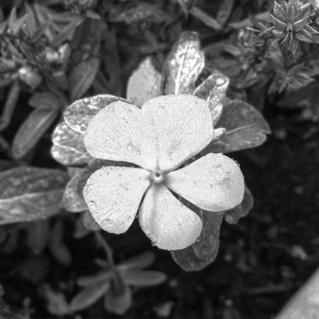 Whatisee FallFlowers Bnw Blackandwhite Flower Beutiful  Shadesofgrey
