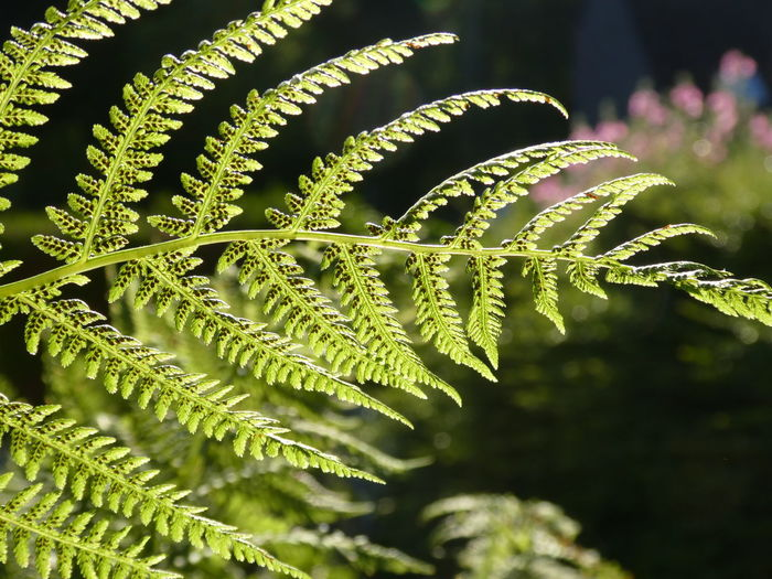 Fern in the sunlight Green Color Plant Close-up Nature Backgrounds Leaf Beauty In Nature Outdoors Freshness EyeEm Gallery Beauty In Nature Morning Light Focus On Foreground Shining Through Shining In The Sun Fern Dark Background
