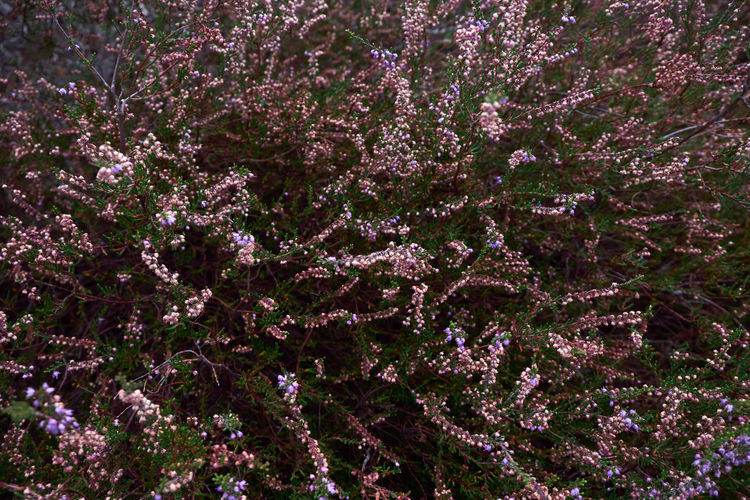 Full frame shot of purple flowering tree