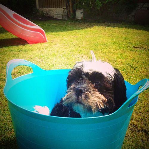 Dog in a tub ☺️ Shihtzu Roxy Cute Fluffy Photography By@Amy Shakeshaft Dog
