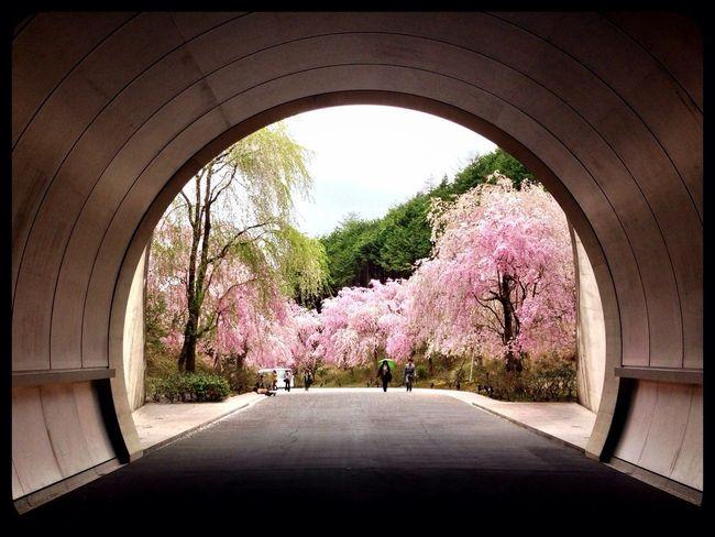 Cherry Blossom 枝垂れ桜