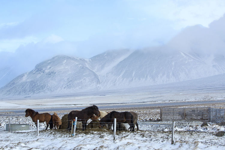 Horses on snow covered landscape