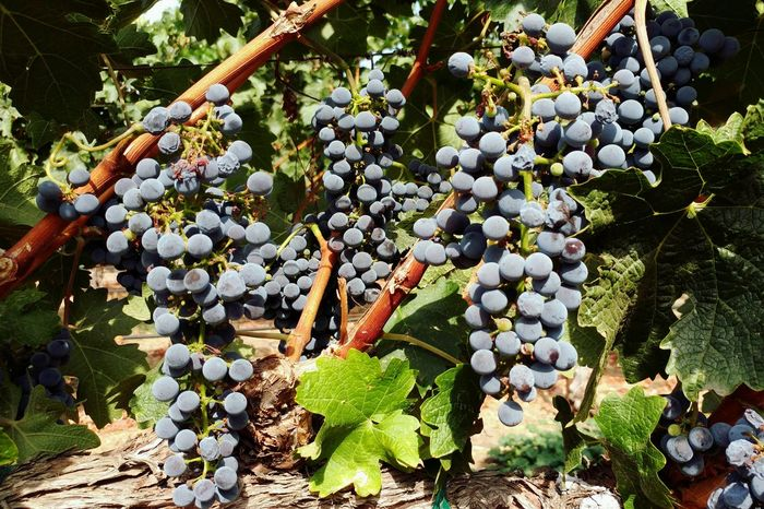 Grapes on the vine, a week before harvesting for wine. Locally Grown Fruits And Vegetables Merlot Wine Grapes Food And Drink Grapes On The Vine Bountiful Harvest Cornucopia My Cup Runneth Over Napa Valley Vineyard Napa Valley California Food And Drink