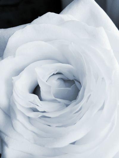 White rose Blackandwhite Roses Flowers Spring Beautiful Nature Romantic Love