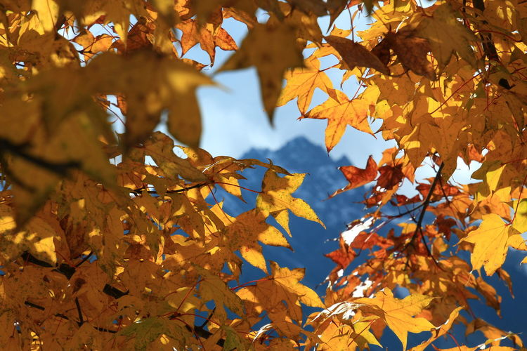 Sky in the forest Mountain Naturephotography Beautiful Leaves_color_change Outdoor Countryside Scenics - Nature Tree Branch Ice Hockey Hockey Maple Leaf Leaf Multi Colored Autumn Yellow Gold Colored Maple Autumn Collection Leaves Maple Tree Change Plant Part Birch Tree Growing