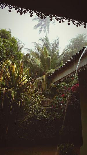 Strong Nature Tropicalstorm Rainy Day Raindrops Palmtrees Viewfromdoor Rainporn Water Drop Tree Wet Spraying Sky Outdoors Freshness No People Nature