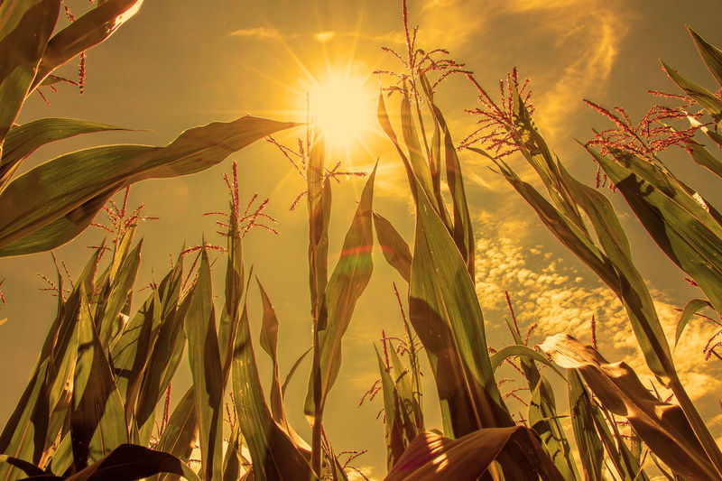 Dry summer in the maize field Diet Drought Farmland Global Warming Agriculture Biogas Climate Change Cornfield Crop  Dry Dryness Ecology Field Growth Heat Heat - Temperature Land Maize Field Nature Problem Sky Summer Sun Sunlight Sunset