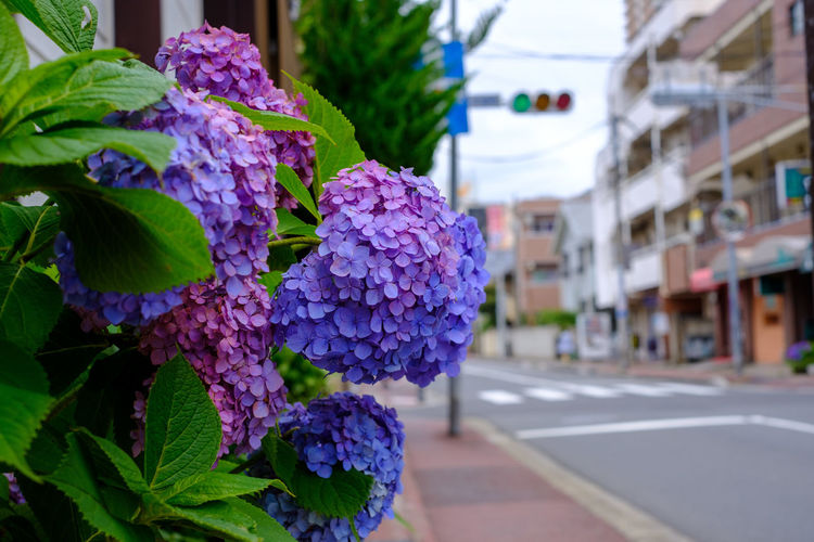 Japan Japan Photography Hydrangea Hydrangea Flower Fujifilm Fujifilm_xseries X-t2 FUJIFILM X-T2 Flowering Plant Flower Vulnerability  Fragility Freshness Plant Petal Beauty In Nature Growth Close-up Flower Head Purple Focus On Foreground No People Nature Bunch Of Flowers