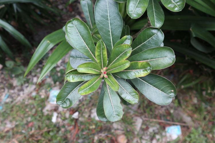 Adenium tree