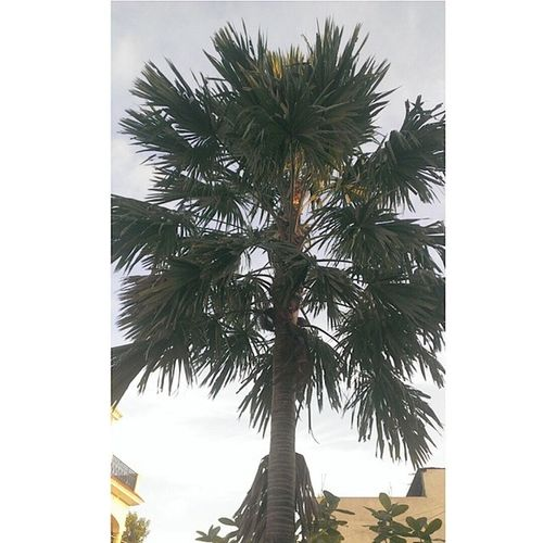 Made with @nocrop_rc Rcnocrop Palm Tree Longshadow naturegram weather instadaily instaedit igaddict ig_indiashots like4like follow4follow followback rays tbt throwback thanks jj_forum jj_mobilephotography webstagram HTConeS fslcback tagsforlike teamfslc jabalpur