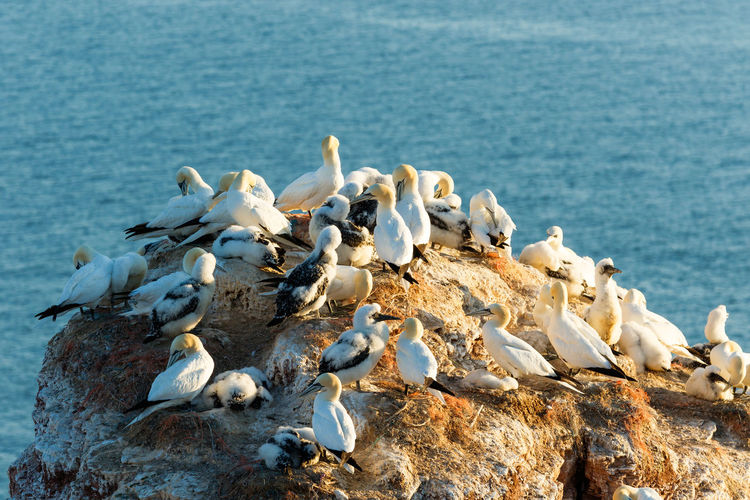 Gannets sitting on a rock cliff