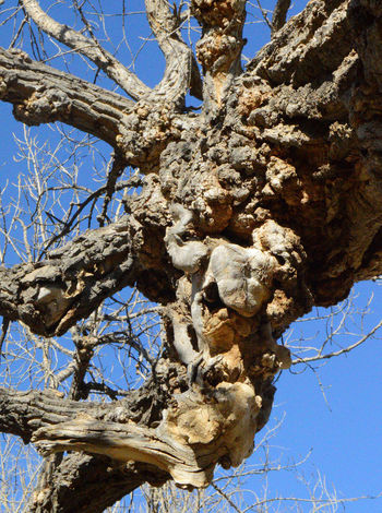 Odd growth on old tree Beauty In Nature Branch Day Growth Low Angle View Nature South Of Lingle Wyoming Sunlight Tree