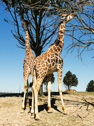 View of giraffe on ground