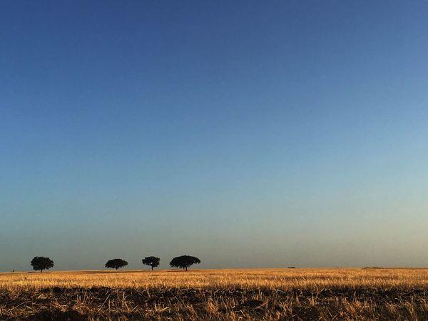Alentejo, sobreiros, terra, cultivo, planícies , azul, amarelo, tranquilidade, paz, calor, paixão Field Agriculture Landscape Clear Sky Tranquil Scene Tranquility Beauty In Nature Blue Nature Rural Scene Day Alentejo