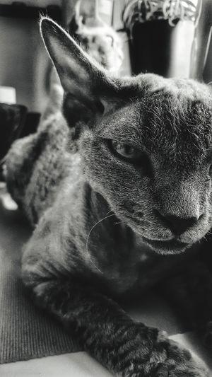 Devon Rex Sweden Cat Beautiful Pets One Animal Animal Themes Domestic Animals Indoors  Mammal No People