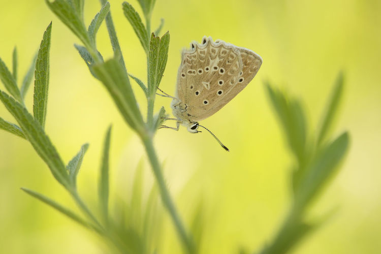 Meleager's blue butterfly resting in grass on a soft green background Meleager's Blue Butterfly - Insect Insect Butterfly Butterfly Collection Animal Wildlife Animal Animal Themes Plant Animals In The Wild One Animal Nature