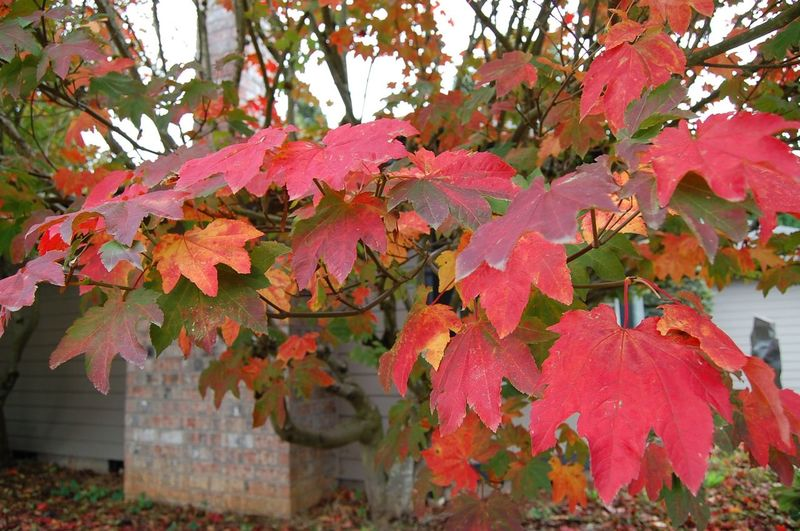 Autumn Beauty In Nature Branch Change Close-up Growth Leaf Nature No People Red Red Color Season  Tree Vibrant Color