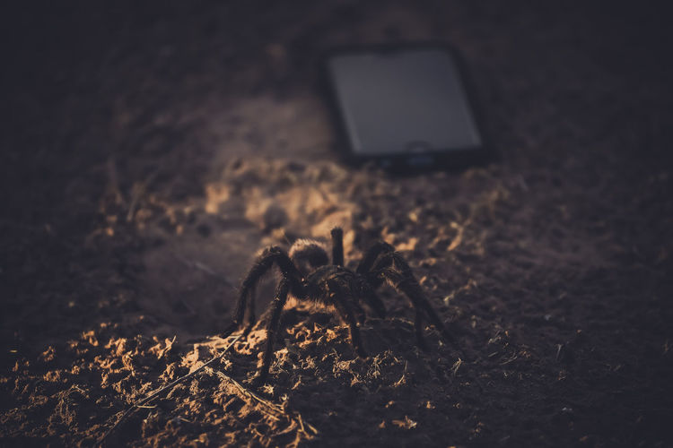 Close-up of tarantula