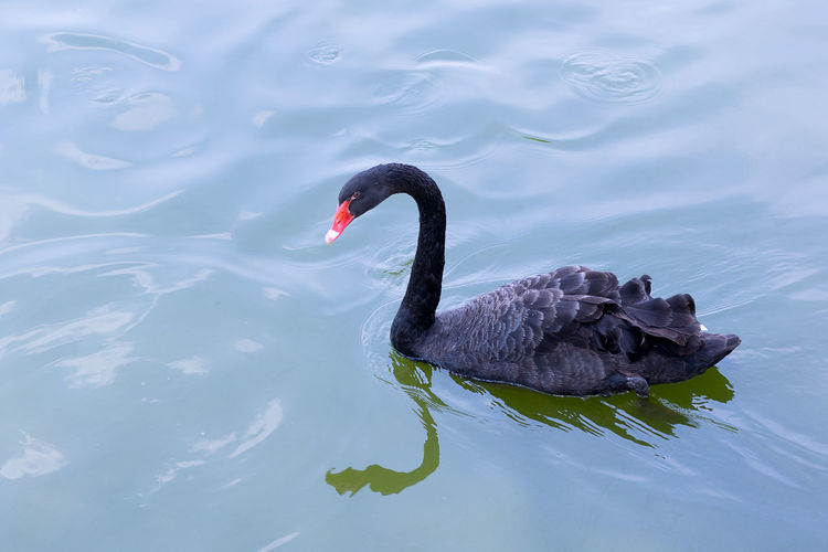 Black Swan Swimming In Lake