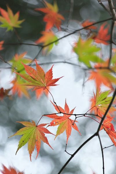 アップした以外の写真とネタ写真をブログの方にアップしてますので、興味があるかたは「けんの撮影日記」で検索してみてください。(笑)  香嵐渓 もみじ 玉ボケ 玉ボケ部 Autumn Leaves Red Leaves Green Leaves Nature EyeEm Nature Lover Nature Photography