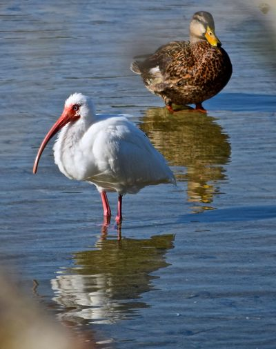 American white ibis and mallard duck at lake
