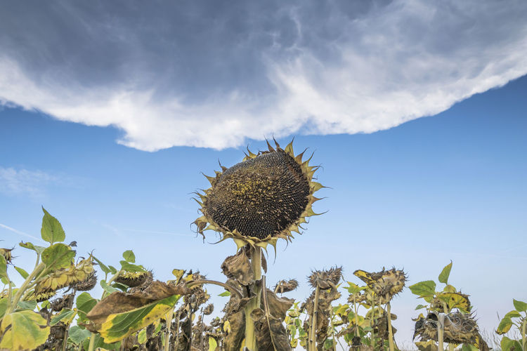 Low angle view of wilted sunflowers against sky