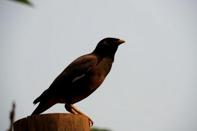Bird Photography The Common Myna, Acridotheres Tristis.
