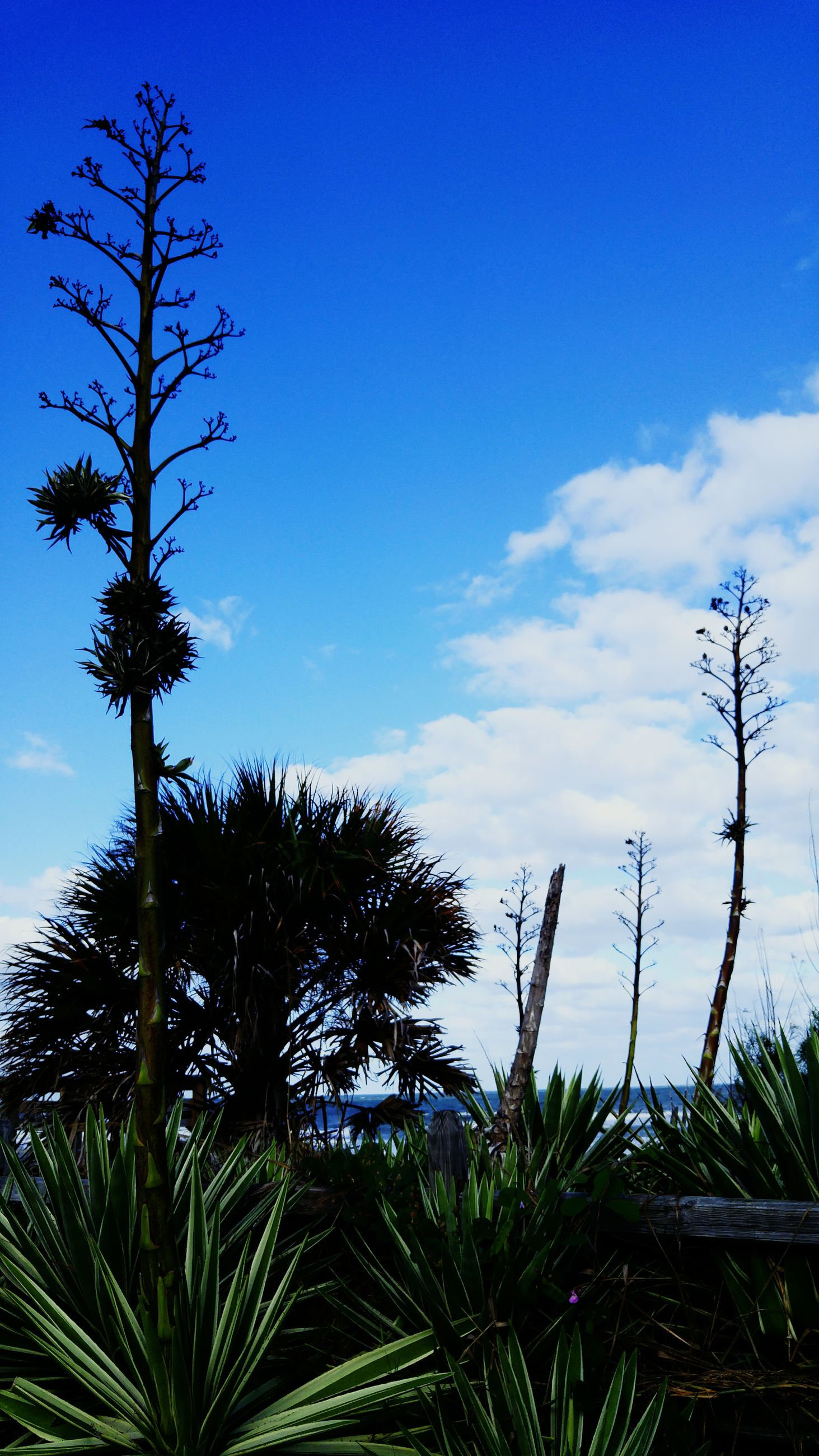low angle view, blue, growth, sky, tree, nature, tranquility, beauty in nature, branch, plant, scenics, clear sky, cloud, tranquil scene, cloud - sky, outdoors, day, no people, palm tree, green color