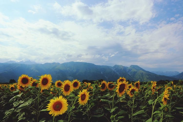 Sunflower Field EyeEm Selects Flower Nature Mountain Beauty In Nature Plant Cloud - Sky Field Growth Landscape Flower Head Uncultivated Outdoors No People Scenics Wildflower Sunflower Sky Mountain Range Travel Destinations Rural Scene