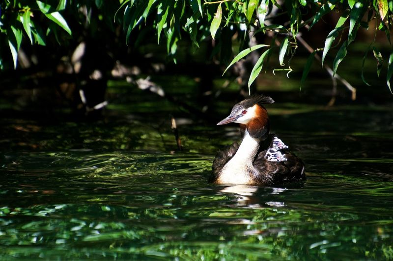 Grebe with