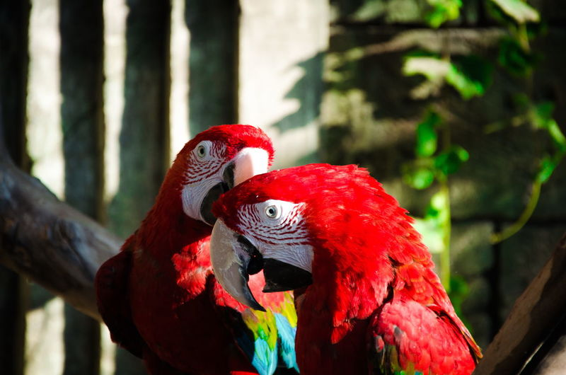 Scarlet macaws perching on branch at zoo