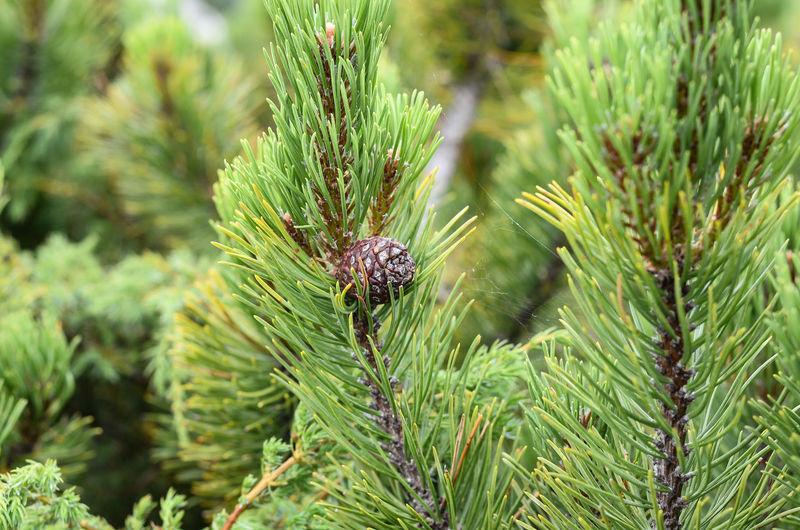 Close-up of pine cone